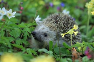 Hedgehog in pretty spring flowers