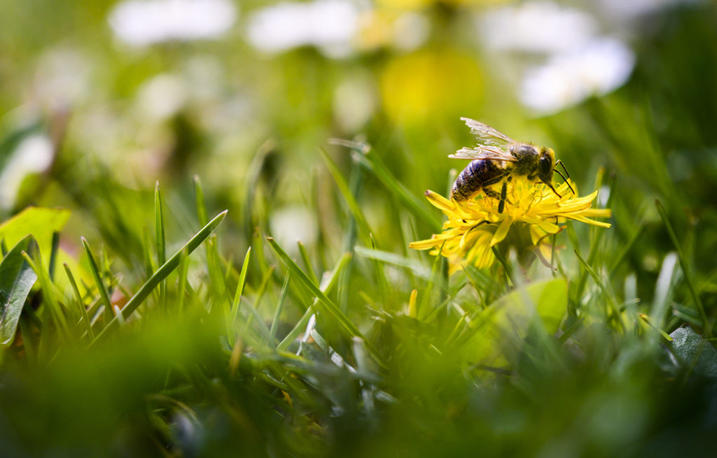 The bee enjoys a sunny day and collects honey on a dandelion flower.